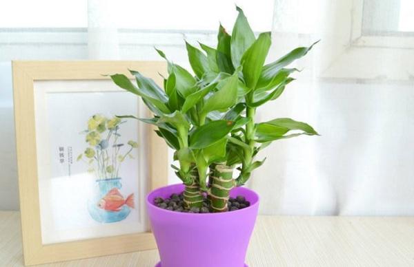 水养富贵竹_盆栽竹子都有什么品种及图片_百度知道