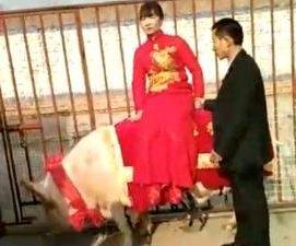 厦门seo顾问:1260斤猪接新娘是怎么回事?