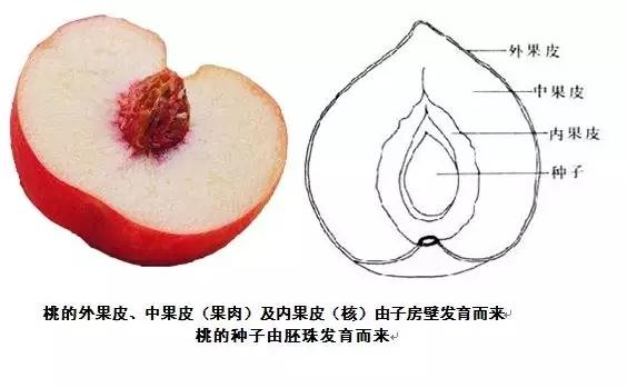 果实和种子有什么区别插图