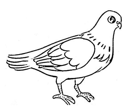 鸽子简笔画