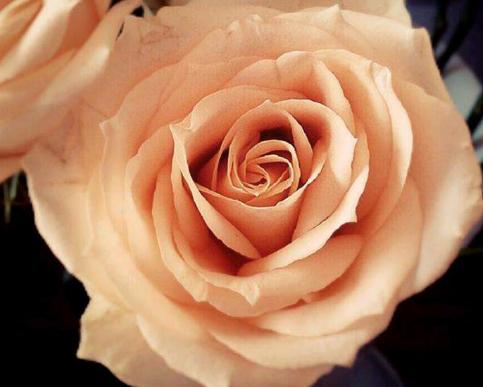 11朵红玫瑰花语_不同颜色玫瑰花的花语寓意是什么?_百度知道