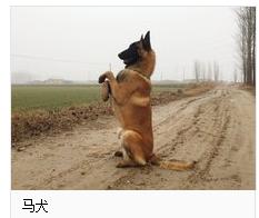 两个月的马犬幼犬怎么训练