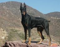 什么品种的狗比较安静?