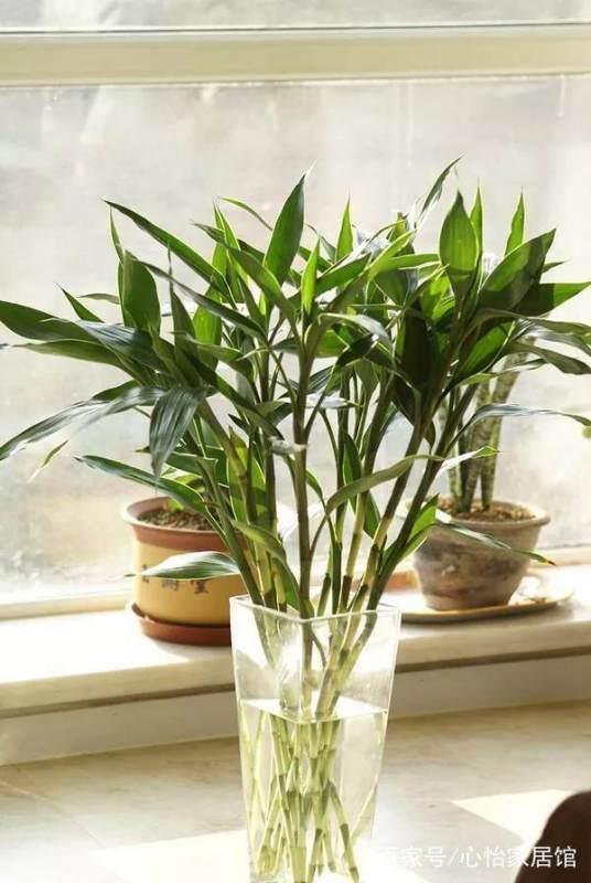 富贵竹怎么水养更科学?