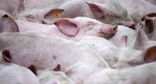 猪一类疫病_非洲猪瘟病毒会传染人吗?_百度知道
