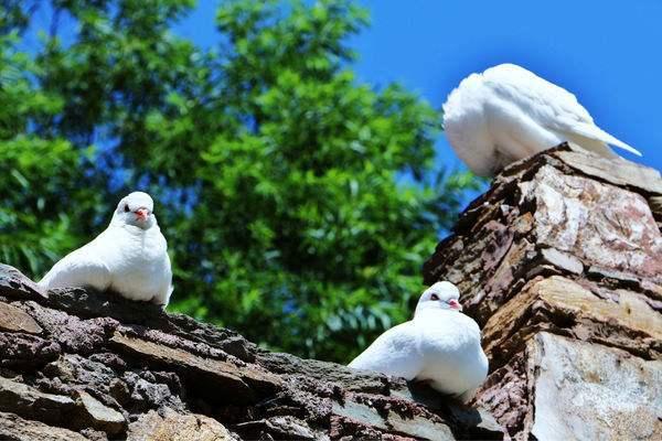 怎么做能保证家养的鸽子不飞走?