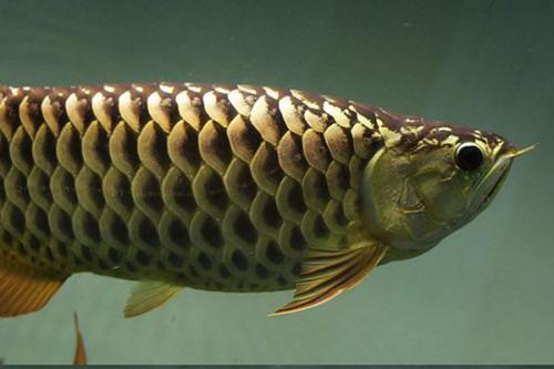 金龙鱼多少钱一条_金龙鱼的价格是多少钱一条?_百度知道