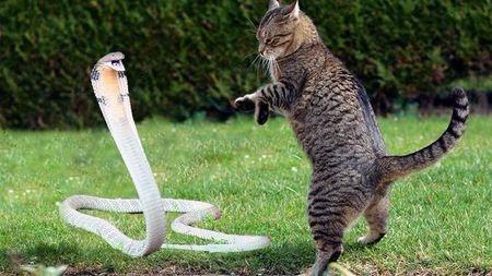 令人恐惧的毒蛇,为什么猫却不怕?