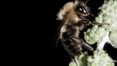 在日全食的时候,蜜蜂会停止嗡嗡嗡