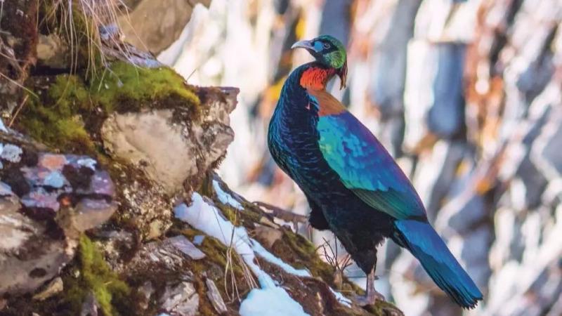 """""""国鸟""""候选人、鸟中贵族,这些珍稀鸟类特有种,你还不认识?的头图"""