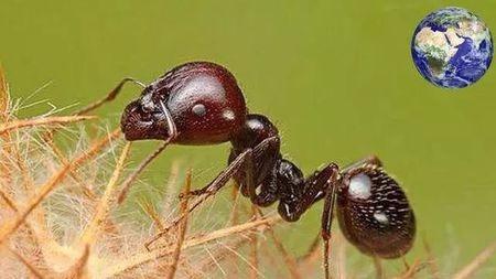 蚂蚁中的特种兵,遇到敌人瞬间自爆与敌人同归于尽!