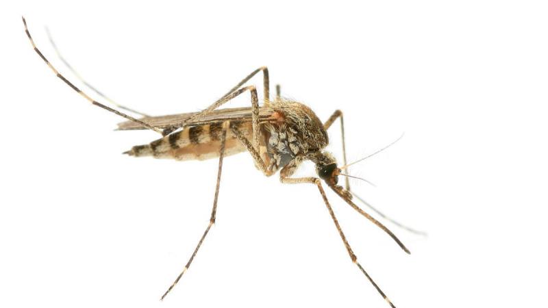八种由蚊子传播的人类疾病