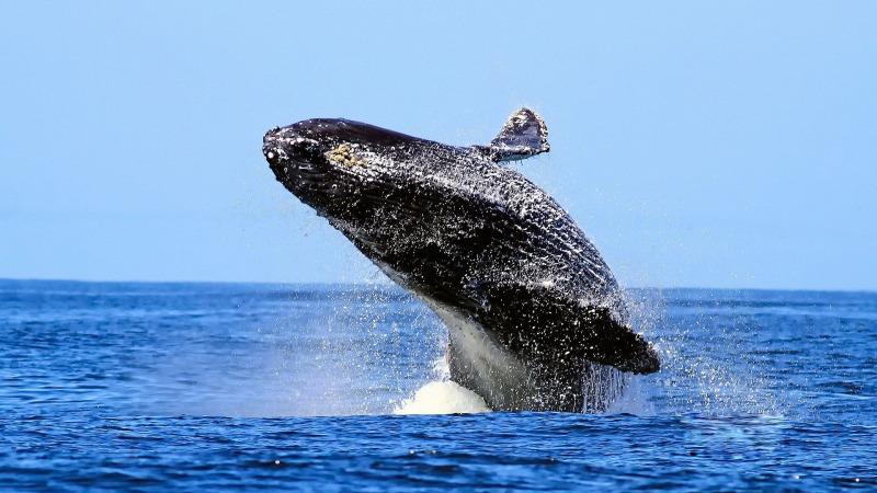 极光下的幸福岁月——短尾鹱:越洋寻亲三万里(上)
