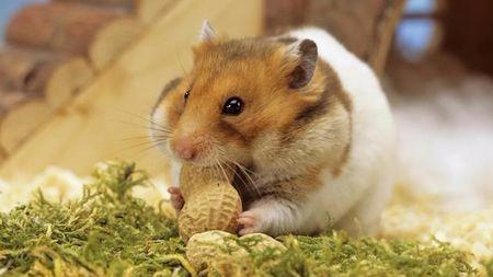 仓鼠到底好不好养,适合没养过宠物的人吗?