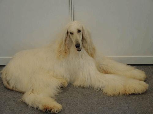 2019世界猛犬排行榜_世界猛犬排行榜