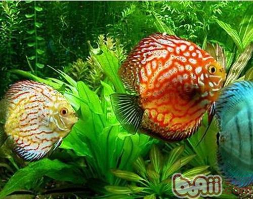 七彩神仙鱼价格_七彩神仙鱼的品种介绍_百度知道