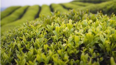 儿茶素在茶叶含量排名