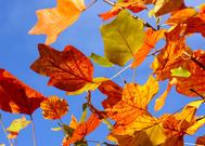 千秋天的树叶比喻