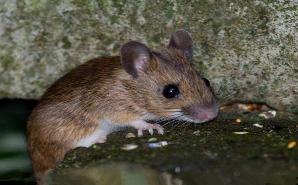 诱捕笼猫_怎样预防老鼠跑到床上去?_百度知道