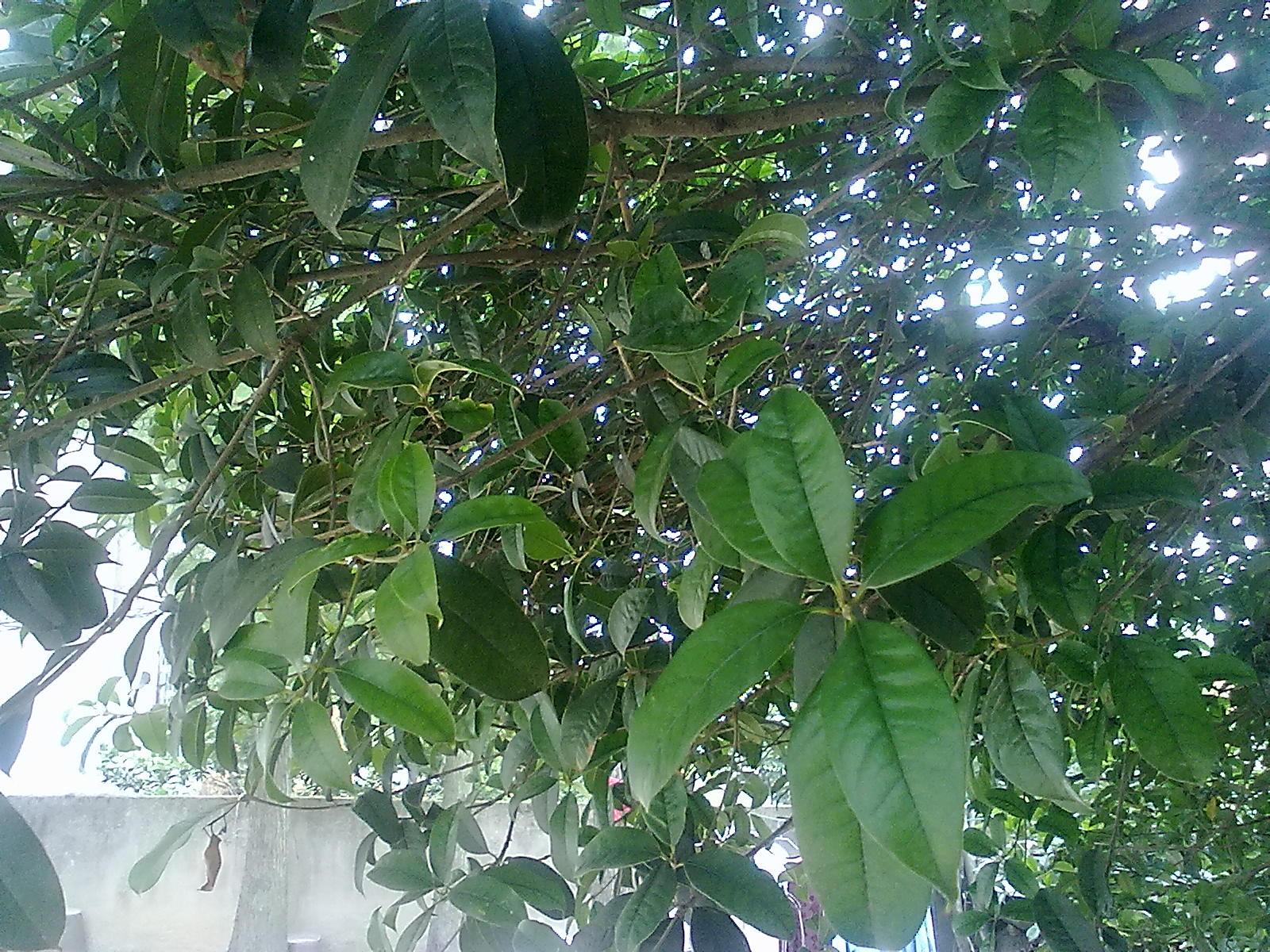 桂花新品种图片_请问这颗桂花树是什么品种的啊?_百度知道