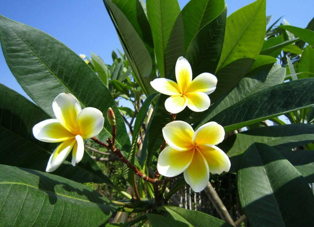 万锦花�yl�_ 鸡蛋花(plumeria rubra l. cv.