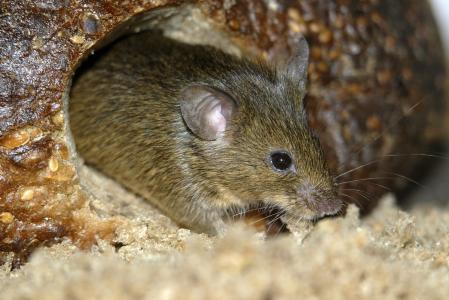 老鼠肉能吃么_老鼠真的可以吃吗?_百度知道