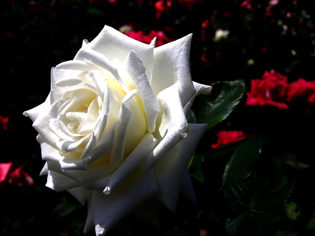 白玫瑰的花语是什么