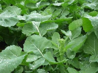 小油菜种植