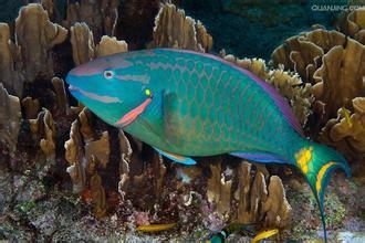 请问鹦鹉鱼是热带鱼吗?