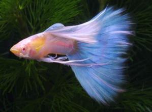 孔雀鱼一般在什么时候开始下小鱼?