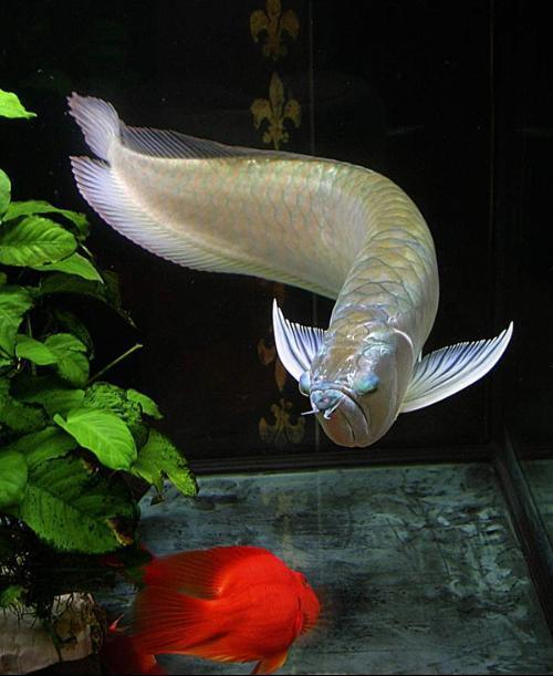 银龙鱼与白金龙鱼的区别?