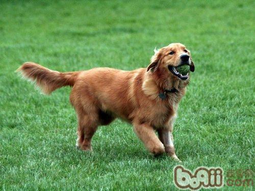 与金毛狗狗玩耍需要注意什么?