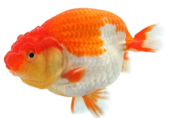 狮子头鱼能长多大_狮子头金鱼怎么养_百度知道