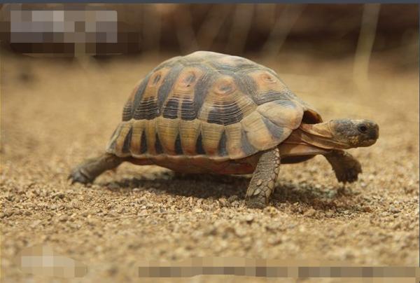 哪些陆龟是小型龟?