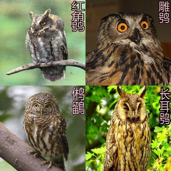 猫头鹰��h�_中国猫头鹰有多少个品种_百度知道