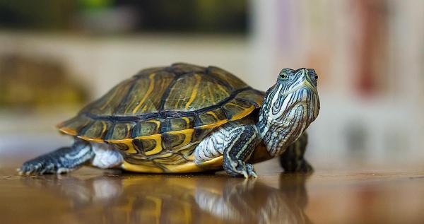 小乌龟浮在水面_街上买的小乌龟要怎么养啊_百度知道