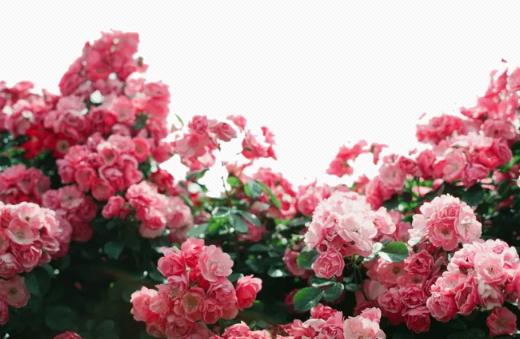 有关花儿的古诗词 与花有关的诗句