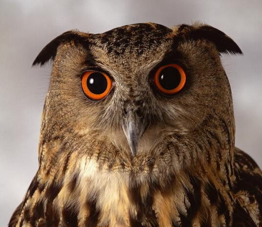 猫头鹰��h�_猫头鹰的眼睛是什么颜色的?_百度知道