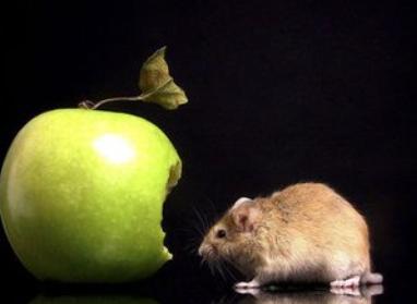 老鼠肉能吃么_老鼠咬过的东西能吃吗_百度知道
