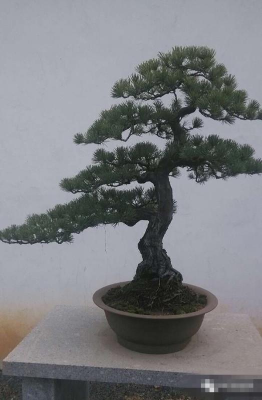 松树盆景制作视频_小松树盆景如何造型_百度知道
