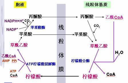 谷氨酸等电点_丙氨酸彻底氧化生成多少能ATP 要详细过程_百度知道