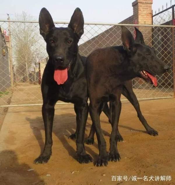 黑狼犬幼犬怎么养 如何取得黑狼犬的信任?