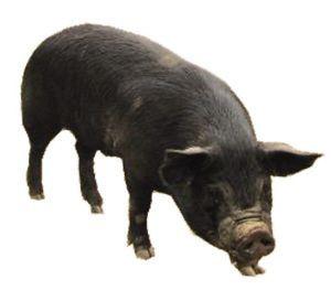 黑母猪_什么品种的黑猪最好_百度知道