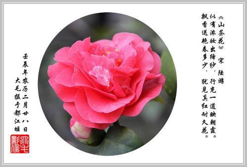 咏山茶花诗词 有关茶花的诗词