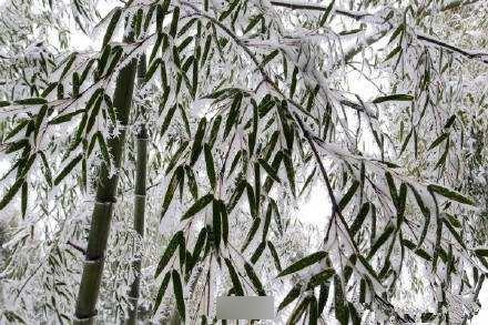 大雪覆盖竹林的诗词 描写冬天竹子的古诗句有哪些