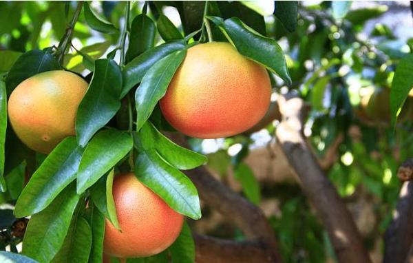 糖尿病人可以吃哪些水果?