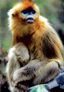 滇金丝猴 英文_金丝猴是国家的一级保护动物吗?_百度知道
