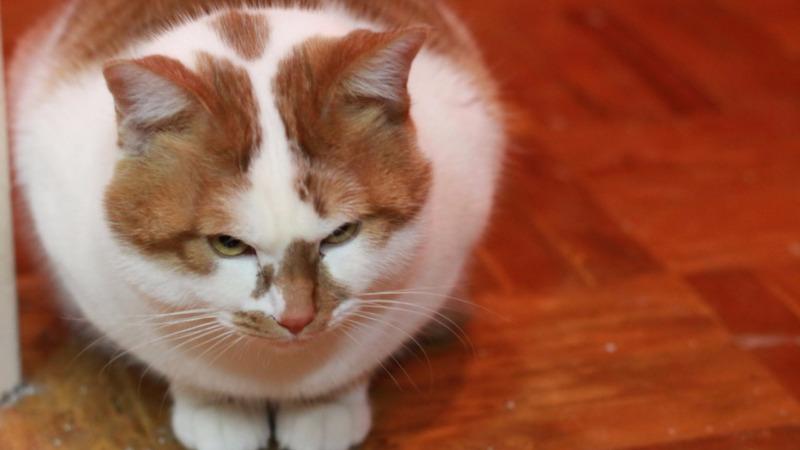 微博网红猫楼楼突发心脏病去世,猫咪们也会患上肥胖症?