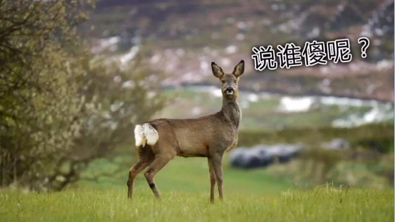傻狍子是什么动物?它真的很傻吗?的头图