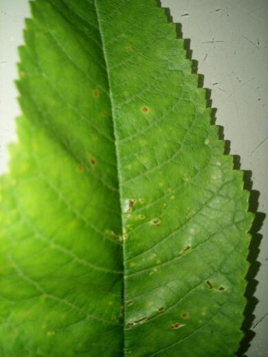 樱桃树的叶片出现这种斑点是什么病需要用什么药物来治图片